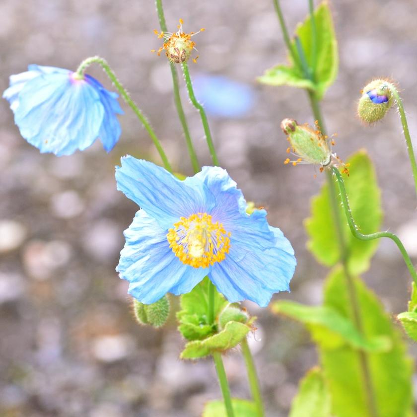 tromso-arktisk-alpine-botaniske-hage-4
